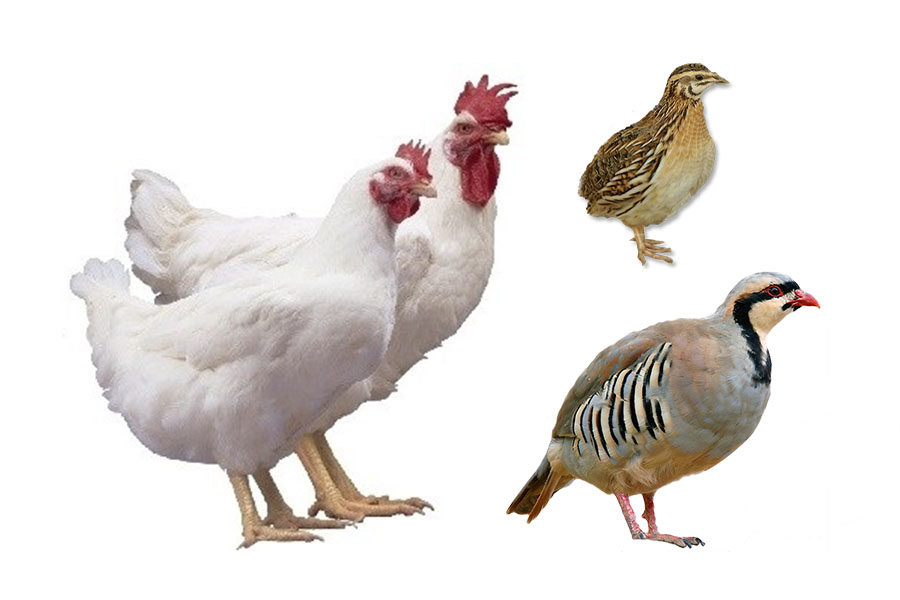Best Poultry To Raise For Meat In Your Backyard!