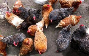 Choosing The Chicken Breed