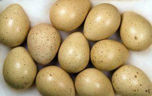 Chukar Partridge Eggs