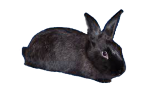 New Zealand Black Rabbit