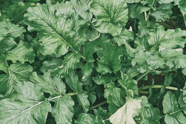 Garden Arugula
