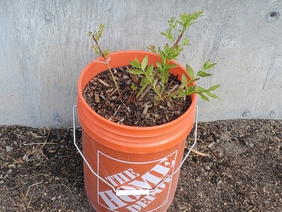 Blueberry Bush Growing In A Bucket Small