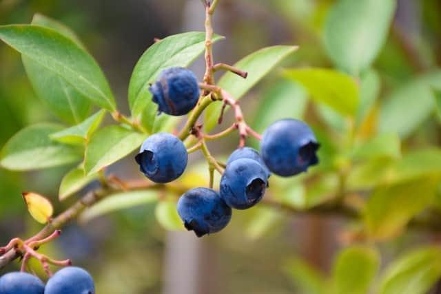 Blueberries Growing