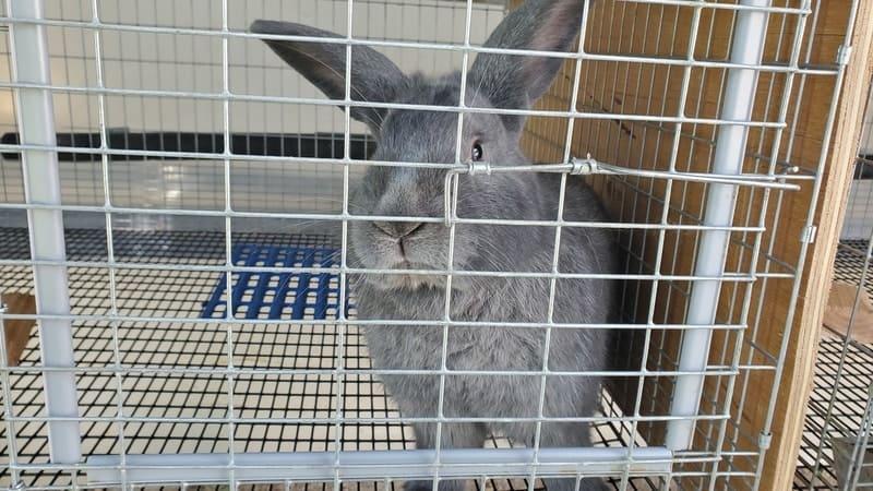 Silver Fox Buck Rabbit